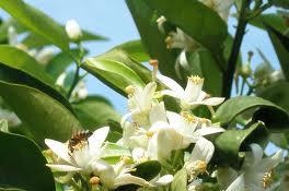 Mandalin Çiçeği Balı 500gr
