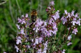 Kekik Çiçeği Balı 250gr